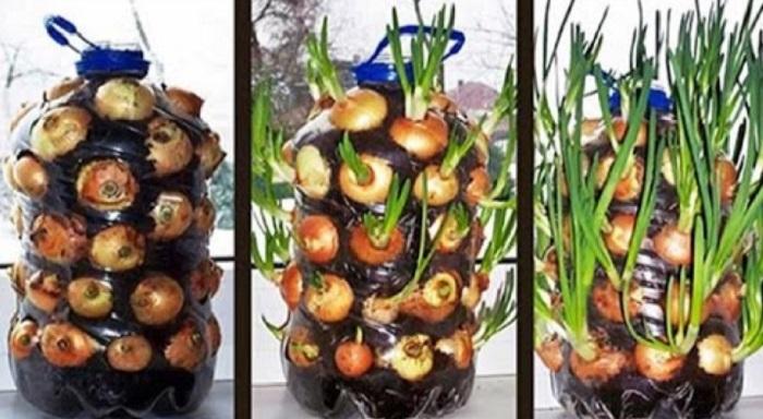 Восхитительный трюк с бутылкой: круглый год собираю урожай зеленого лука! Свежайшая зелень!