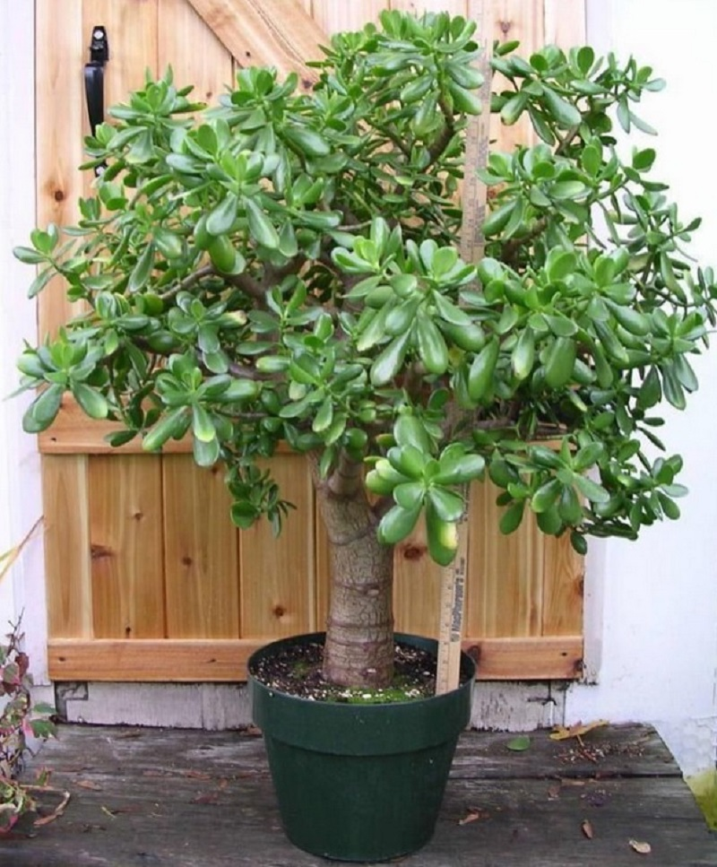 Многие выращивают дома «Денежное дерево»: знайте, что вы поливаете и выращиваете. Притягивает, как магнит.